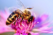 Bee Photos - Honey bee  by Elena Elisseeva