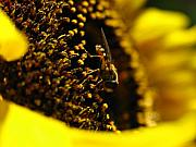 Sunflowers Art - Honey Bee by Juergen Roth