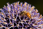 Honey Photos - Honey Bee by Matt Dobson