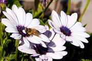 Honey Photos - Honey Bee on Blue Eyed Daisies by Anthony Citro
