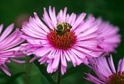 Aster  Framed Prints - Honey Bee On New England Aster Flower Framed Print by Dr. Nick Kurzenko