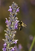Fragrant Flowers Prints - Honey Bee Pollinating Flowers Print by Bob Gibbons