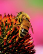 Honey Bee Posters - Honeybee Poster by Betty LaRue