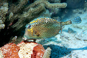 Honeycomb Framed Prints - Honeycomb Cowfish Framed Print by Georgette Douwma