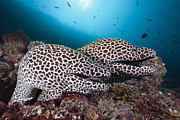 Honeycomb Framed Prints - Honeycomb Moray Eel Pair Male Atoll Framed Print by Reinhard Dirscherl