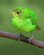 Trinidad Photos - Honeycreeper by Larry Linton