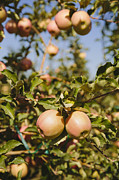 Crisp Prints - Honeycrisp Apples Growing On Tree Print by Mint Images - Paul Edmondson