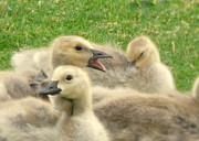Honk Prints - Honker Goslings Print by Cindy Wright