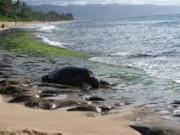 Laniakea Beach Prints - Honu at Laniakea Print by Grant Wiscour