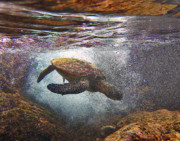 Hawaiian Green Sea Turtle Photos - Honu Dives Under by Bette Phelan