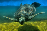 Hawaii Sea Turtle Art - Honu by DJ Florek