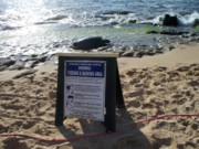 Laniakea Beach Prints - Honu Feeding and Basking Print by Grant Wiscour