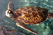 Marine Green Posters - Honu Green sea turtle Maui Hawaii Poster by Pierre Leclerc