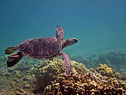 Hawaiian Green Sea Turtle Photos - Honu Heaven by Bette Phelan