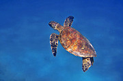 Hawaiian Green Sea Turtle Photos - Honu in Blue by Bette Phelan