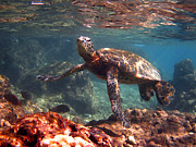 Hawaiian Green Sea Turtle Photos - Honu in the Shallows by Bette Phelan