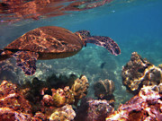 Green Sea Turtle Photos - Honu Reflections by Bette Phelan