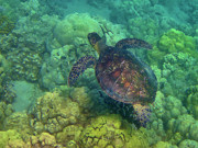Hawaiian Green Sea Turtle Photos - Honu Swimming over Coral by Bette Phelan