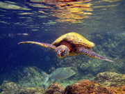 Green Sea Turtle Photos - Honu with Reef Fish by Bette Phelan