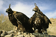 Kazakhstan Prints - Hooded Eagles Stand Ready For Hunting Print by Ed George