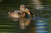 Beaks Prints - Hooded Merganser and bullfrog Print by Mircea Costina Photography