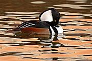 Plumage Acrylic Prints - Hooded Merganser On Colorful Water Acrylic Print by Max Allen