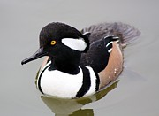 Hooded Merganser Print by Thomas Photography  Thomas