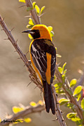 Oriole Originals - Hooded Oriole by Stephanie Salter
