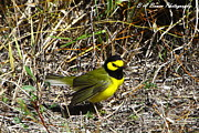 Warbler Originals - Hooded Warbler by Barbara Bowen