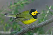 Hooded Warbler Print by Clarence Holmes