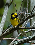 Birds - Hooded Warbler DSB166  by Gerry Gantt