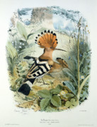 Wild Life Drawings Framed Prints - Hoopoe Framed Print by Edouard Travies