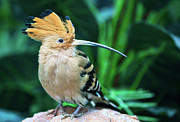 Shanghai Prints - Hoopoe Print by Feng Wei Photography