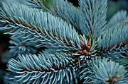 Tanya  Searcy - Hoopsi Blue Spruce