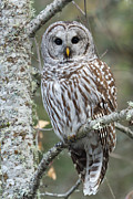 Barred Owl Posters - Hoot Hoot Hoot are You Poster by Reflective Moments  Photography and Digital Art Images