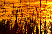 Willow Lake Metal Prints - Horicon Cattail Marsh Wisconsin Metal Print by Steve Gadomski