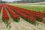 Converging Framed Prints - Horizontal View Of A Bright Red Tulip Framed Print by Stephen Sharnoff