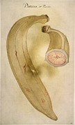 Banana Art Prints - Horn Plantain, 1585 Print by Granger