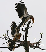 Hornbill Photos - Hornbill Courtship by Bruce J Robinson