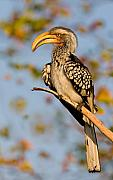 Wild Digital Art Originals - Hornbill in the Morning by Basie Van Zyl