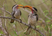 Hornbill Photos - Hornbill Love by Bruce J Robinson