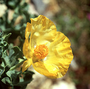 Paul Cowan - Horned poppy