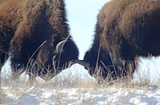 American Bison Prints - Horns in the Snow Print by Dakota Light Photography by Nadene