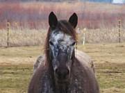 Horse-1 Print by Todd Sherlock