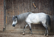 Gray Horse Photos - Horse by Alexey Bubryak
