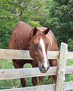 Horse Photos Framed Prints - Horse along the Fence Framed Print by Tam Ishmael - Eizman