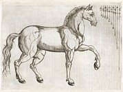 Horse Anatomy Prints - Horse Anatomy, 16th Century Artwork Print by Middle Temple Library