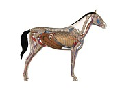 Horse Anatomy Prints - Horse Anatomy, Artwork Print by Friedrich Saurer
