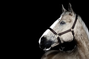 Bridle Art - Horse by Arman Zhenikeyev - professional photographer from Kazakhstan