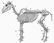 Horse Anatomy Prints - Horse: Bone Structure Print by Granger